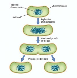 Reproduce asexually by binary fission reproduction
